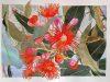 Eucaliptus 2017.  Aquarel·la i tinta xinesa