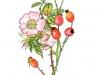Rosebush. Watercolour and Indian ink. 2005